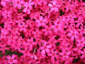 マゼンダピンクの花