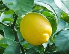 レモン 精油プロフィール